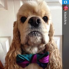 Check out this fella! If any dog could look bad ass in a bow tie, it's this guy. Look at that mug! I'm in love! #dogsofinstagram #thrufftypup #etsy #etsyshop #etsyseller #Repost @kladckrs with @repostapp.・・・He's sexy and he knows it #thrufftypup #Kermitthedog #kladcockers #debonair #handsome #18Kcockers #cockerspaniel #cockersofinstagram