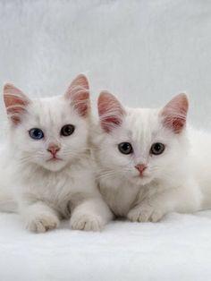 da92415a9cf5d0 18 Best Beautiful Turkish Angora Cat Photography images