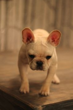 ... Such a friggin' cute little French Bulldog.