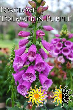 """Dalmatian Purple Foxglove Plant in sun to part shade, keep well watered, bloom time - summer, reaches a height of 16-20"""""""