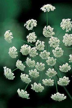 Ammi majus (Bishop's flower). Like cow parsley, but not.