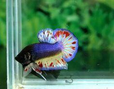 Purple and red plakat Pretty Fish, Beautiful Fish, Betta Tank, Fish Tank, Colorful Fish, Tropical Fish, Betta Fish Types, Fishing World, Beta Fish