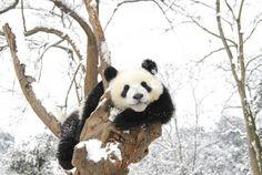 Pandas frolicking in snow - China.org.cn