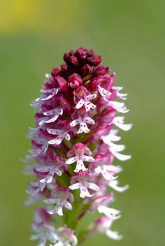 Orchis ustulata / Krutbrännare / Burnt orchid