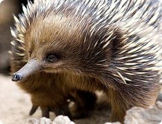 E is for Echidna Photos from ╰⊰⊹✿Jules✿⊹⊱╮, lcriding - On & Off a lot, Nuytsia 5348 Franco- heart with japan, ( on downtime. Reptiles, Mammals, Rare Animals, Funny Animals, Strange Animals, Wild Animals, Adorable Animals, Beautiful Creatures, Animals Beautiful