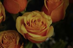 Orange Intense Rose Roses, Orange, Flowers, Plants, Pink, Rose, Plant, Royal Icing Flowers, Flower