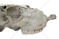 cropped image of animal skull. - Close-up cropped shot of skeleton of animal head.