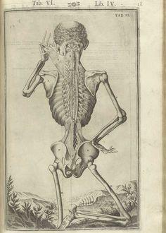 Láminas de Casserio para su Theatrum anatomicum. De humani corporis fabrica libri decem.