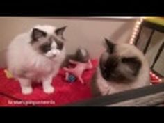 Rochelle and Charlie- Ragdolls are introduced to new Kitty Playroom
