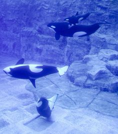 orca whale Help support these captive animals, at least read about what's going on Walrus ... SaveSmooshi.com #killerwhale #orca #animalsincaptivity