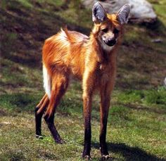 Maned wolf, fascinating animal. Not a true wolf, or a fox, or a dog...a different species altogether in the genus Chrysocyon. They will grow up to 3' in height and 4' in length, but seldom weigh over 50 pounds.