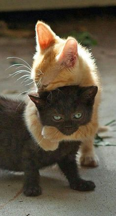 Amour de chats 🧡🧡🧡 chats calin – Chats et chatons- chaton mignon -… Pretty Cats, Beautiful Cats, Animals Beautiful, Beautiful Soul, Beautiful Pictures, Cute Baby Animals, Animals And Pets, Funny Animals, Funny Cats