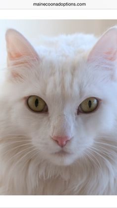 Snow White has been adopted!  She is a sweet and gorgeous Maine Coon mix with a thick, lustrous white coat. www.MaineCoonAdoptions.com   Oakland, CA    #MCA