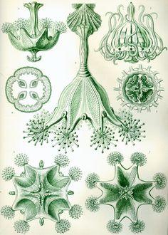 stauromedusae | illustraties: ernest haeckel