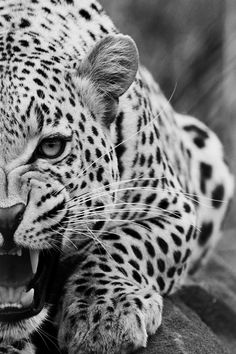 The jaguar is the third-largest feline after the tiger and the lion, and the largest in the Western Hemisphere. Nature Animals, Animals And Pets, Cute Animals, Wild Animals, Baby Animals, Fierce Animals, Beautiful Cats, Animals Beautiful, Big Cats