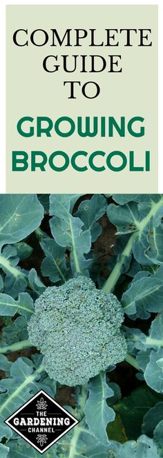 Guide to growing broccoli in your garden. Plant broccoli today. It can be fast growing and it's a cool weather crop.