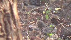 Asian Koel - Female (SHRIKANT MADHAV KELKAR)