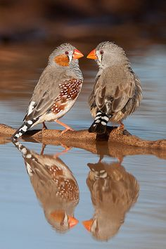 zebra finches  photo by jon thornton  My daughter had 20 of these birds living in a huge cage in our kitchen 9 years ago. They are such cute little chirpy birds.