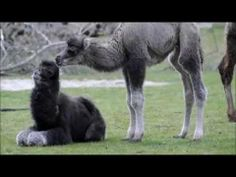 Kameeltjes geboren in Diergaarde Blijdorp - young camels in Rotterdam Zoo