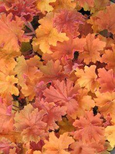 Heuchera - Coral Bells 'Caramel'