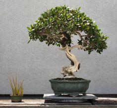 Bonsai with accent kusamono