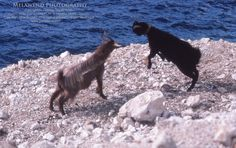 Greek goats going at it!  -- www.melawend.com