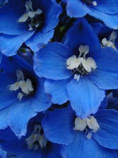 "Blue - Delphinium ""bluebird"" via Flicker"