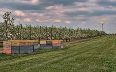 Crane Orchards, Fennville, Michigan.  U-Pick orchard, apples, peaches and cherries. Visit upickfarmlocator.com to find more U-Pick Farms near you. #upickcherries #gopicking #fennvillemichigan