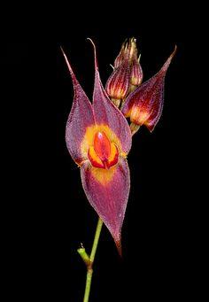 Orchid (Lepanthes sp.)