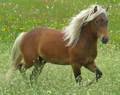 The Nordlandshest/Lyngshest is a very old breed. They were used by the Vikings, were a main part of the breeding stock that made up the Icelandic horse, and still share many similarities. They may be a descendant of the Asiatic Wild Horse and the Tarpan, from which the Baltic pony or Konik, and the Shetland pony and Exmoor pony also derived.