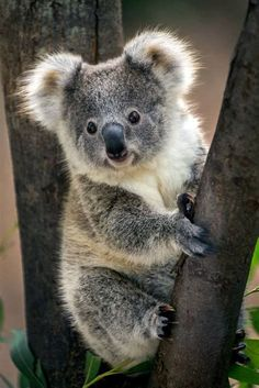 """Do you know the answer to the question: """"What do koalas eat?""""This article aims to cover important koala diet and feeding questions#koala"""