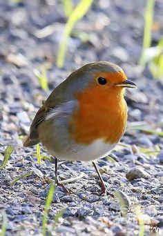 Orange Saltmarsh Sparrow ★。☆。JpM ENTERTAINMENT ☆。★。