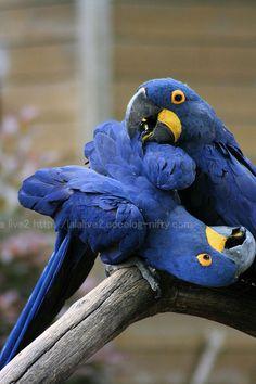 Hyacinth Macaws -- LOVE these guys!