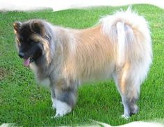 These guys already have a ton of hair.  I can't imagine dealing with a long hair Akita!!