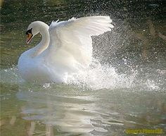 36 Excellent Examples Of Digital Wildlife Photography – Bashooka Beautiful Swan, Beautiful Birds, Animals Beautiful, Swan Pictures, Animal Pictures, Swans, Vogel Gif, Animals And Pets, Cute Animals
