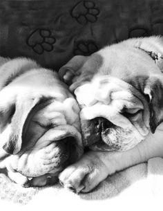 Bulldogs love to snuggle! Bulldog Puppies, Cute Puppies, Cute Dogs, I Love Dogs, Puppy Love, Baby Animals, Cute Animals, Olde English Bulldogge, Cute Bulldogs