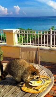 This orphaned raccoon is living her best life in the Bahamas.