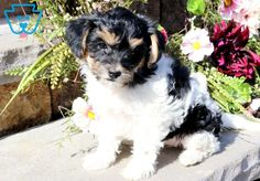 Lori | Morkiepoo Puppy For Sale | Keystone Puppies  #Morkiepoo #keystonepuppies