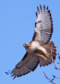 ☀Red-Tailed Hawk... These guys live on our golf course. Very loud, don't know golf equitte.