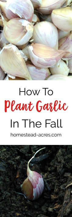 How to plant garlic in the fall. Garlic is a must have kitchen staple in our home! Growing garlic is so easy to do and doesn't need a lot of space. Find out how easy it is to grow your own garlic. Growing Herbs, Growing Vegetables, Planting Garlic In Fall, Organic Gardening Tips, Vegetable Gardening, Veggie Gardens, Desert Gardening, Vegetable Ideas, Urban Gardening