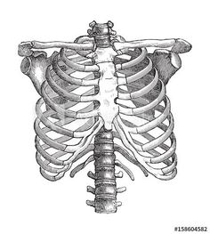 Find Human Thorax Vintage Illustrations Die Frau stock images in HD and millions of other royalty-free stock photos, illustrations and vectors in the Shutterstock collection. Thousands of new, high-quality pictures added every day. Skeleton Drawings, Skeleton Art, Skeleton Makeup, Skull Makeup, Anatomy Drawing, Anatomy Art, Illustration Botanique, Illustration Art, Vintage Illustrations