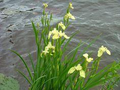 Iris psedacorus