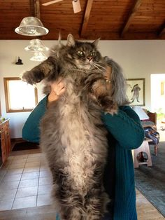 Run for the hills. It's the invasion of the Maine Coons! SHARE if you think this cat breed is HUGE