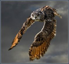 Bengal eagle owl (bubo bubo) - last of a trilogy by hawkgenes, via Flickr