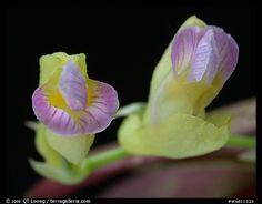 Scleochilus latipetalus. A species orchid
