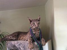 Bobcat at ranch