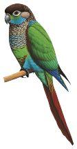 Pearly Parakeet (Pyrrhura lepida)   HBW Alive