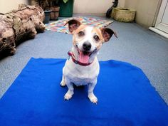 King, a 6 year old Male Jack Russell Terrier Dog Looking for a Forever Home