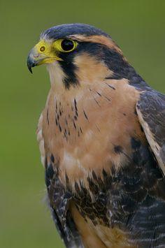 Aplomado Falcon Falco femoralis - Google zoeken