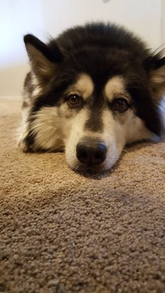 Our Shasta relaxing. Part Husky and part Malamute.